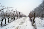 snowy_vineyard