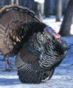 turkey_3