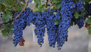 Syrah Bunches
