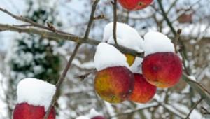 Ice-Cider-frozen-apples