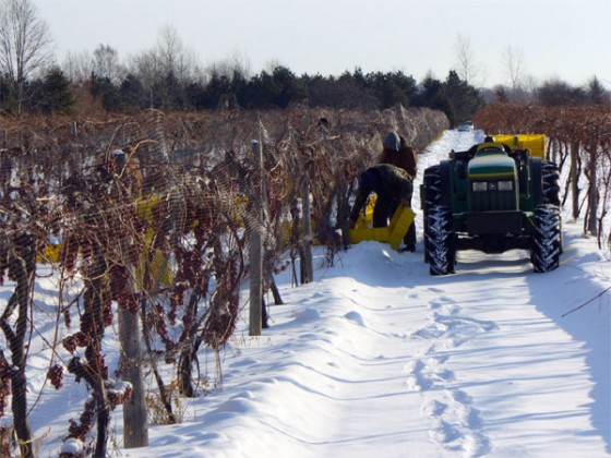 Niagara ice wine harvest... from 2009