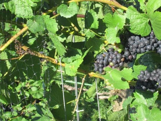 Photo courtesy of Sheldrake Point Vineyards