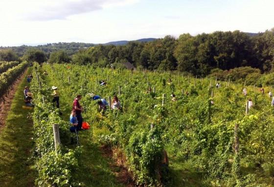 2013 seyval blanc harvest and Benamarl Winery