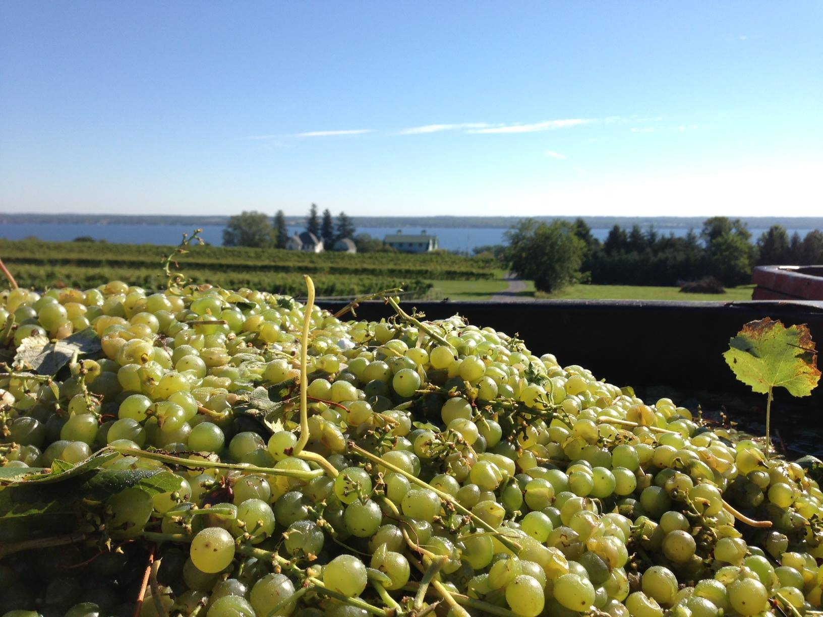 Harvest has begun at Fox Run Vineyards, and many other wineries in the Finger Lakes.