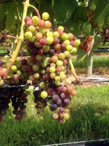 Merlot verasion in McCall Wine's Corchaug Estate vineyard