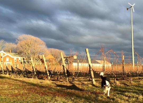 Photo courtesy of Shinn Estate Vineyards