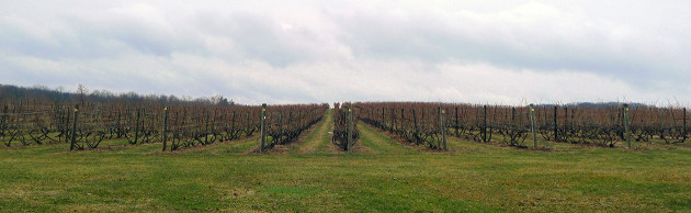 Early spring vines at Millbrook Vineyards and Winery, ready to do their thing.