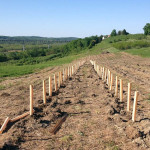 Gamay vines being planted at Whitecliff Vineyard's new site in Hudson, NY