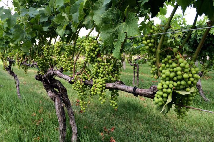 generic-vines
