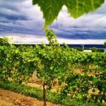 cayuga-ridge-chardonnay