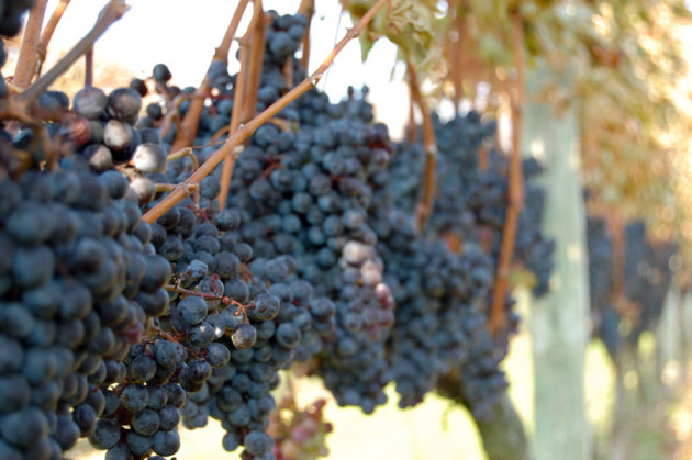 new-york-wine-news-grapes
