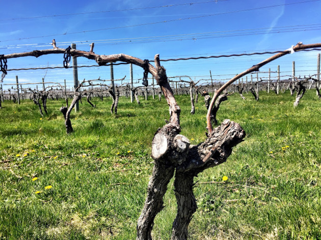 vines-at-macari