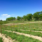 whitecliff-gamay-planting